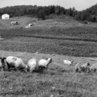 Sheep at Experiment Station, West Jefferson, 1960's