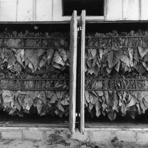 Tobacco in Bulk Curing Barn