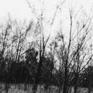 Black locust plantation on the farm of M.R. Gorham of Edgecome County