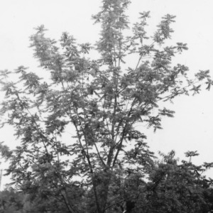 Black walnut tree 10 years after setting a one-year seedling