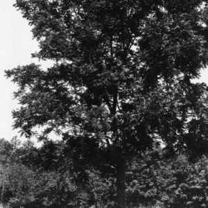 Black walnut: (Juglans nigra Linnaeus) At the home of Catherine Pringle, Four-H Club Member.  Rowan County