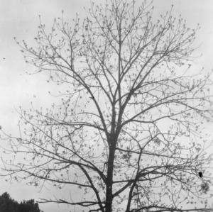 Black walnut: (Juglans nigra Linnaeus) Near N.C Highway No. 10, east of Old Fort, N.C. just coming into leaf