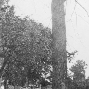 26 yr old black walnut tree 18 inches D.B.H. (Diameter Breast Height) Yield for 1930 - 7 bushels of hulled walnuts
