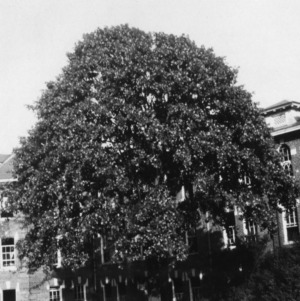 Blackjack Oak on Cecil Clay Loam soil between Ricks Hall and 1911 Dormitory on State College campus