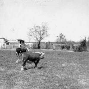 Bulls - Farm Forestry