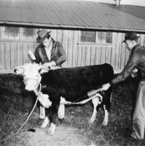 College boys treating calf at College Farm for lice