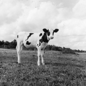 Calf on State College Dairy Farm.  Sept. 1941