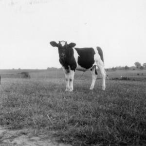 Calf State College Dairy Farm