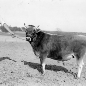 """This is """"Coastal Plain Pedro"""" young head of the herd of J.W. Cameron, Polkton, N.C."""