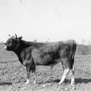 D.F. Shepherd's herd sire, Peachland, NC