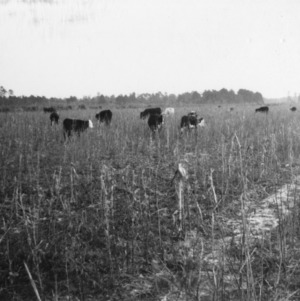 A few of the beef cattle on farm of J.W. Christiansen, Whiteville, R.4