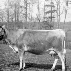 3 year old heifer owned by H.P. Lutz, Newton NC