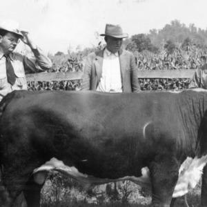 Purebred Hereford Bull