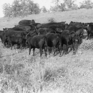 Another view of a Lincoln County herd