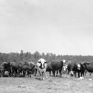 Beef Cattle, Montgomery County