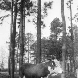 C.E. Overman's registered herd bull