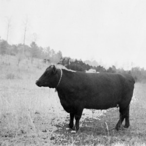 Black Angus Cow, Lincoln County