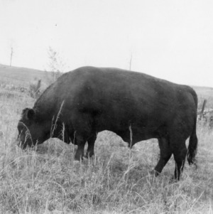 Black Angus Bull, Lincoln County