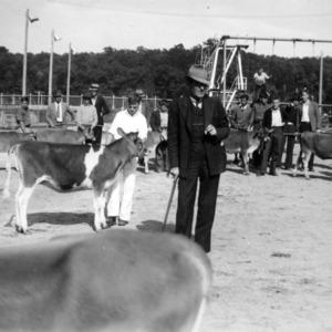 Calves at Jersey show