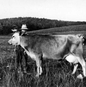 Prized dairy cow with boy on farm
