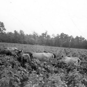 Dairy herd in soybean field on farm of P. J. Hayes