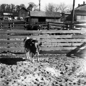 Bulls in pens on Cottonade Farm