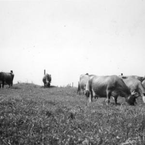 Dairy cattle grazing in field