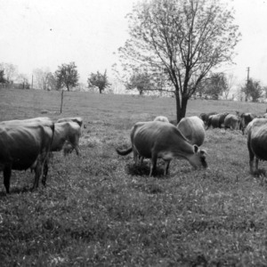 Dairy cattle in temporary grazing pasture