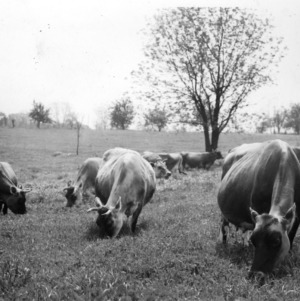 Dairy cattle grazing in temporary pasture