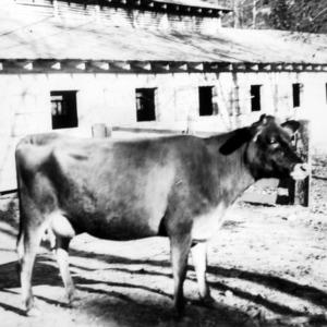 Heifer on farm of Dewitt Bradford