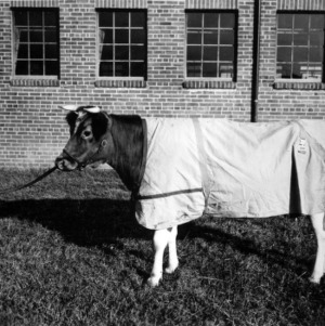 Dairy calf prepared for show ring