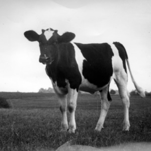 Calf on State College Dairy Farm