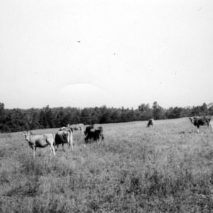 Cows in pasture in five-year rotation