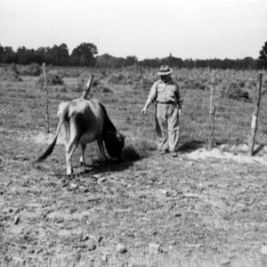 Tenant with cow on farm