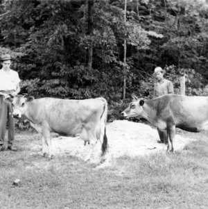 Men with Jersey dairy cows