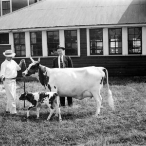 Dairy cow with calf at North Carolina Experiment Station Dairy