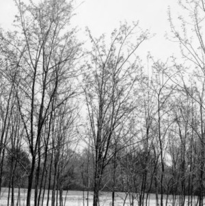 Black locust trees planted on a sandy creek bottom
