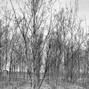 Black locust trees for land reclamation