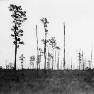 Result of fires on land with longleaf pine trees