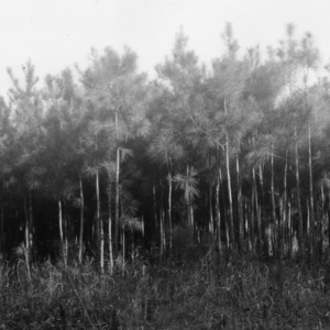 Man in front of naturally seeded loblolly pines