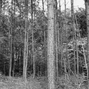 Loblolly pine tract