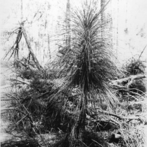 Small long-leaf pine growing in logged area