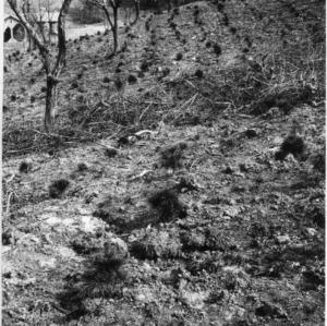 Biltmore Estate white pine plantation
