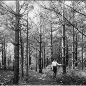 Biltmore Estate pruned white pine