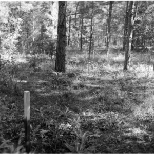 Regrowth in loblolly pines after spring grazing