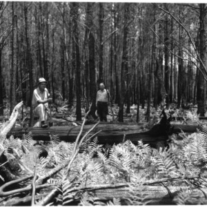 White cedar logs in Hofmann Forest