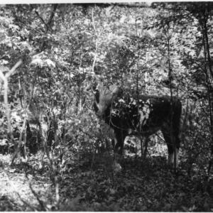 Cow grazing in forest