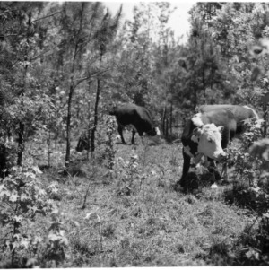 Cows grazing in forest