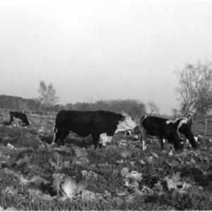 Herd of cattle grazing in field