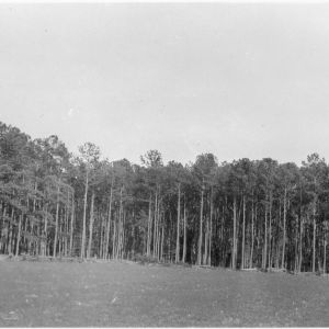 Stand of loblolly pines